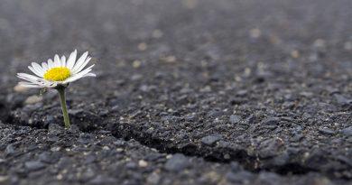 Daisies in the asphalt