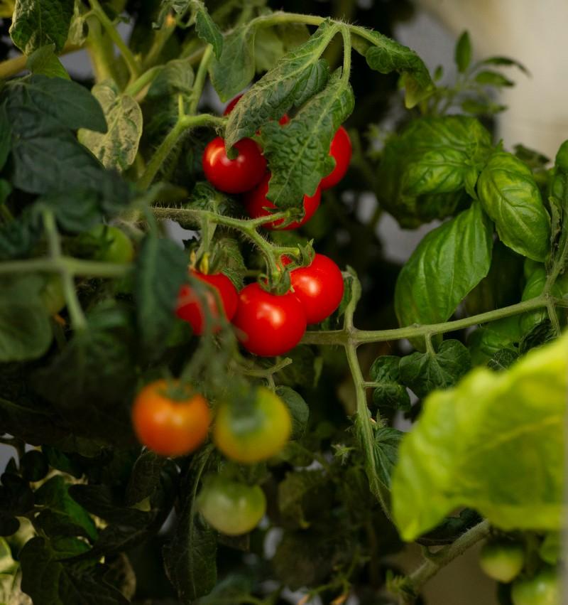 gardyn-indoor-growing-tomatoes-on-vine